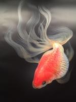 金魚love.JPG