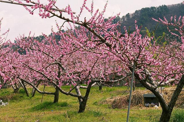 Prunus_persica_(200804).jpg