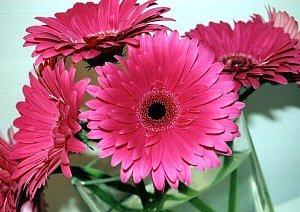gerbera pink.jpg